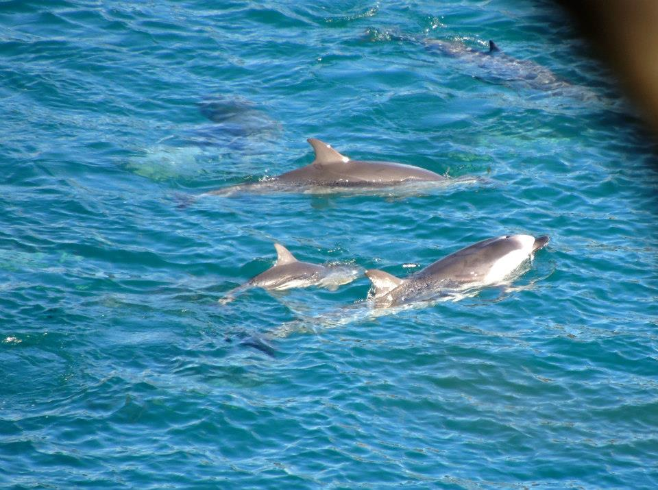 Striped Dolphins Fought Hard But 1/3rd of pod/family ...