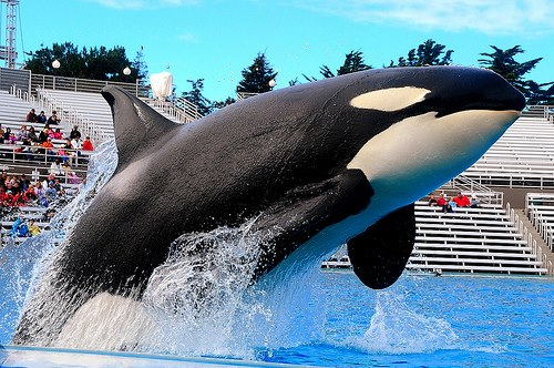 1000  ideas about Killer Whales on Pinterest | Orcas, Whales and ...