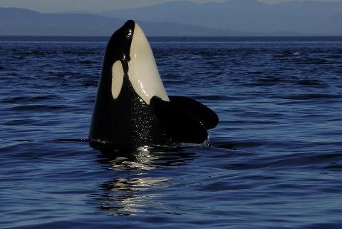 help orca