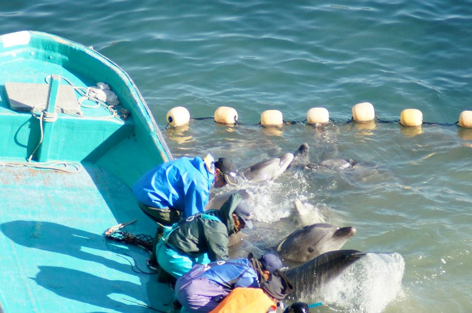Pantropical Spotted Dolphins 27 Live Captives 26 27