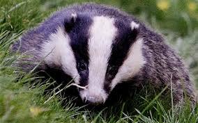 badgers telegraph.co.uk